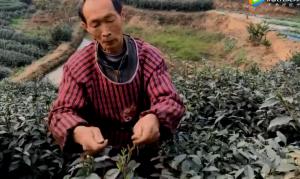 四川犍为茉莉茶市场开业啦!