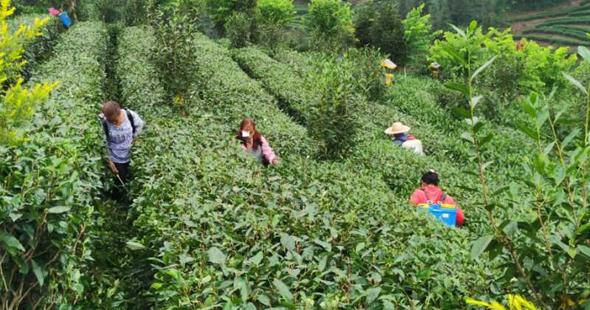 标准化茶园提升品质 筠连县开启茶园标准化时代