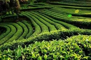 川之南茶城启动运营 筠连茶产业优势将进一步提升